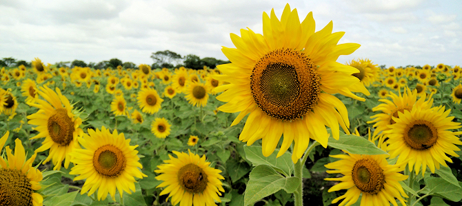 Sunflower Field - Photo by Vishwas Krishna