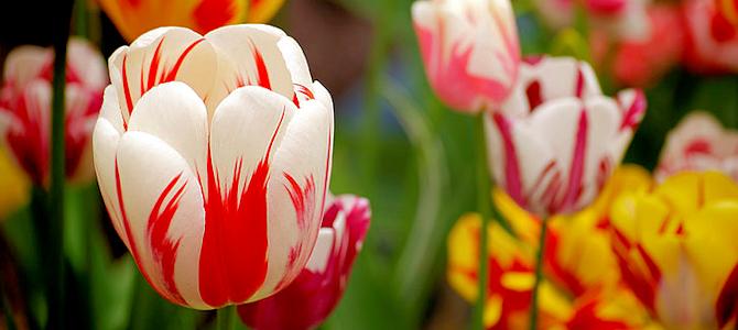 Tulips - Photo by Riza Nugraha