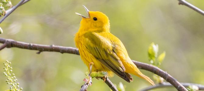 Yellow Warbler - Photo by Tim Sackton