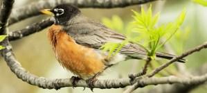 American Robin in Spring - Photo by John Benson