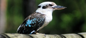Laughing Kookaburra - Photo by Alexandre Lavrov