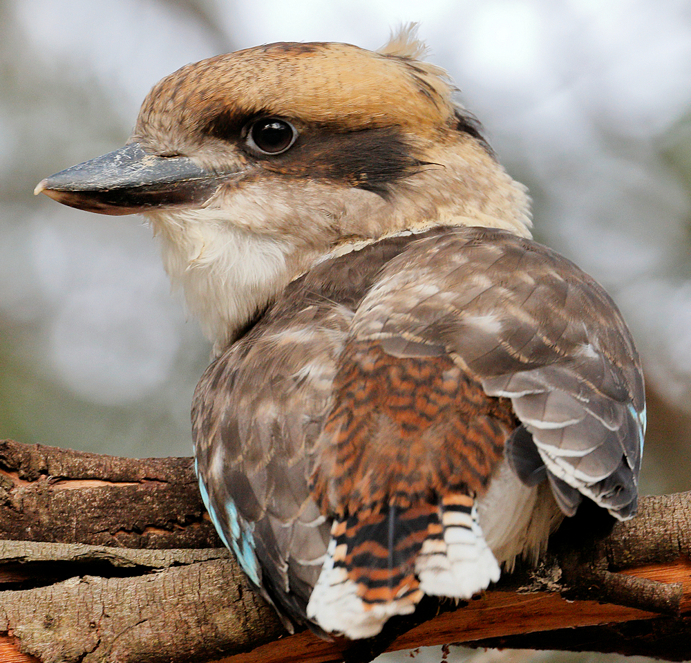 Laughing Kookaburra - Photo by Ed Dunens