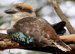 Laughing Kookaburra - Photo by Ed Dunens