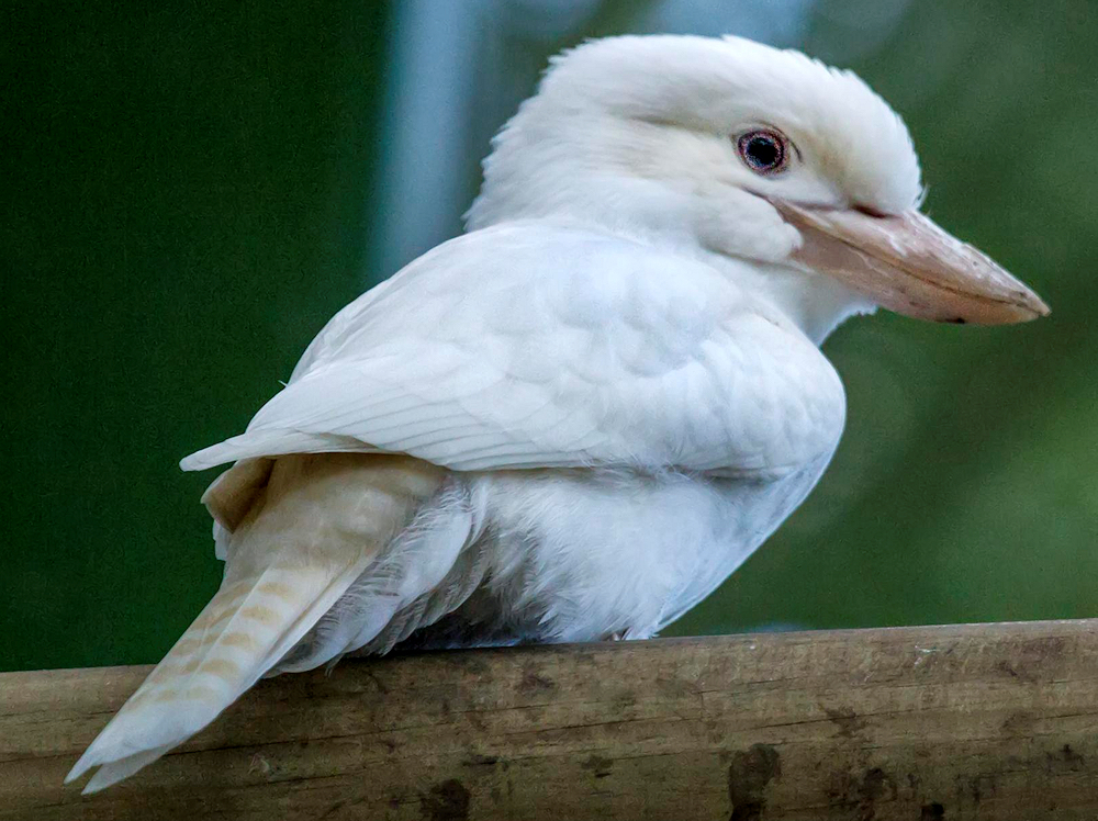 Albino Laughing Kookaburra - Photo by John