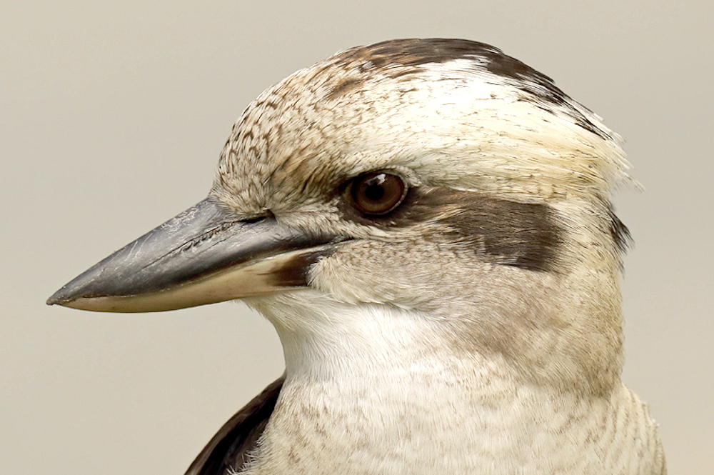 Kookaburra Portrait - Photo by patrickkavanagh