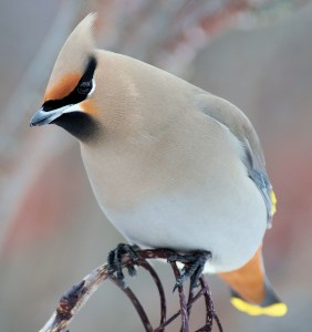 Bohemian Waxwing (Bombycilla garrulus) - Photo by Silver Leapers