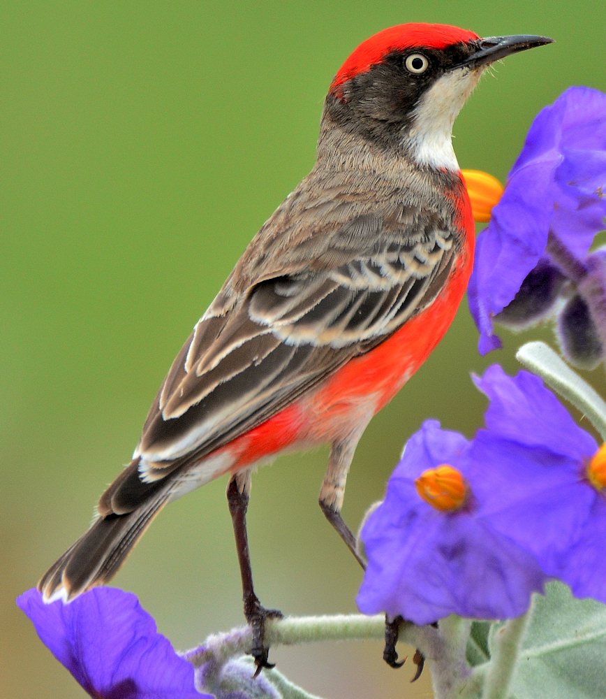Crimson Chat (Epthianura tricolor) - Photo by Laurie Boyle