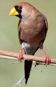 Masked Finch (Poephila personata) - Photo by Graham Winterflood