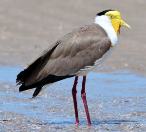 Masked Lapwing (Vanellus miles) - Photo by Graham Winterflood