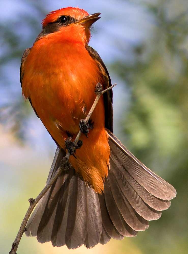 Common Vermilion Flycatcher (Pyrocephalus rubinus) - Photo by Joan Gellatly