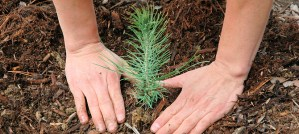 Planting a Seedling - Photo by Pacific Southwest Forest Service, USDA