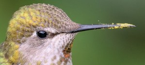 Anna's Hummingbird With a Dirty Bill - Photo by Becky Matsubara