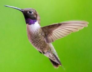 Black-Chinned Hummingbird - Photo by Jørgen Høg