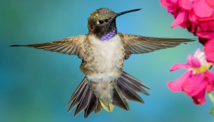 Black-Chinned Hummingbird Stunner - Photo by Ed Post