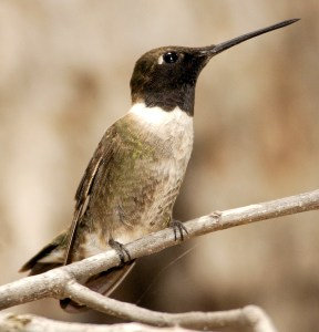 Black-Chinned Hummingbird - A Black Chin Indeed! - Photo by Owen Deutsch