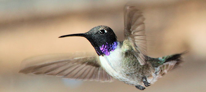 Black-Chinned Hummingbird - Male - Photo by ALAN SCHMIERER