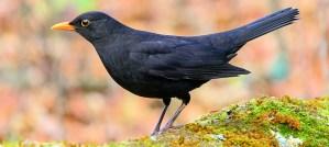 Eurasian Blackbird - Photo by Le poidesans