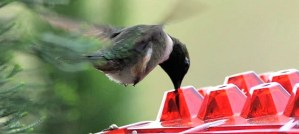 Black-Chinned Hummingbird at the Hum Sweet Hum