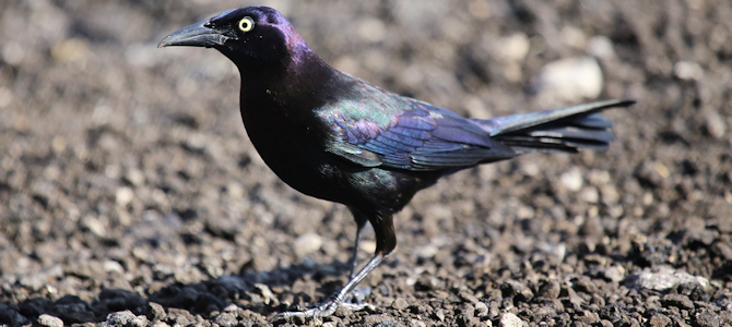 Common Grackle - Photo by cuatrok77