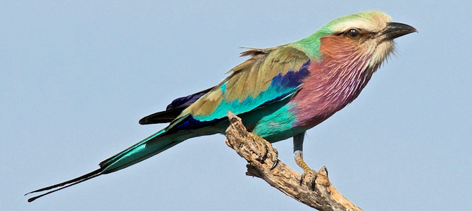Lilac-Breasted Roller - Photo by Brian Ralphs
