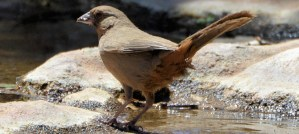 Abert's Towhee - Photo by Andy Reago & Chrissy McClarren