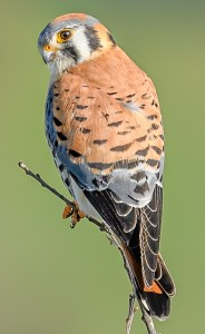American Kestrel - Photo by Becky Matsubara