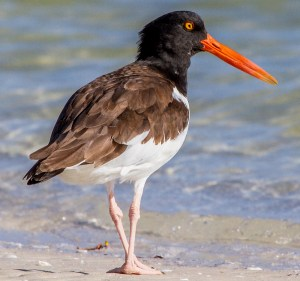 American Oystercatcher - Photo by Andy Morffew