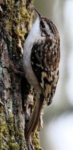American Treecreeper - Photo by Jason Crotty