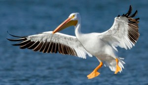 American White Pelican - Photo by Manjith Kainickara