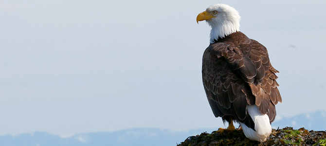 Bald Eagle - Photo by JD Lasica