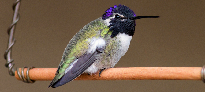 Costa's Hummingbird on HIS Swing - Photo by Joan Gellatly