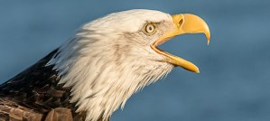 Does a bald eagle laugh at eagle jokes? - Photo by Andy Morffew