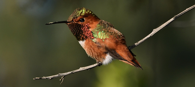 Thin Perches Are Just Fine - Rufous Hummingbird - Photo by William Garrett