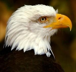 Regal Eagle - Photo by Jossie K