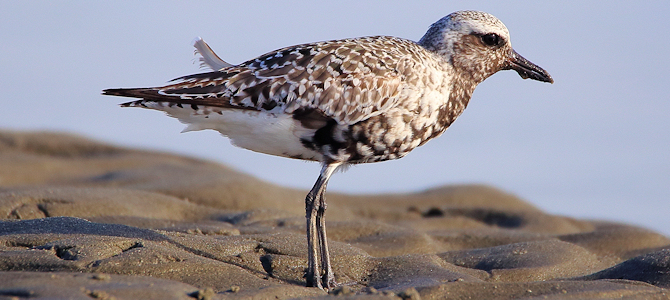 Black-Bellied Plover - Autumn Molt - Photo by Scott Heron
