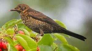 Juvenile Eurasian Blackbird - Photo by hedera.baltica