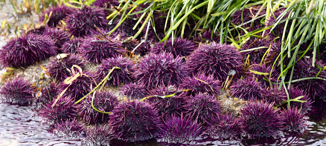Purple Urchins - Photo by Roy Luck
