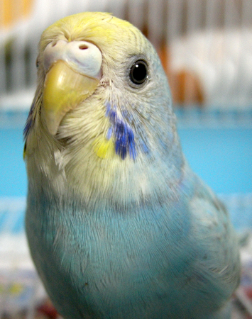Happy Pet Budgie - Photo by contri