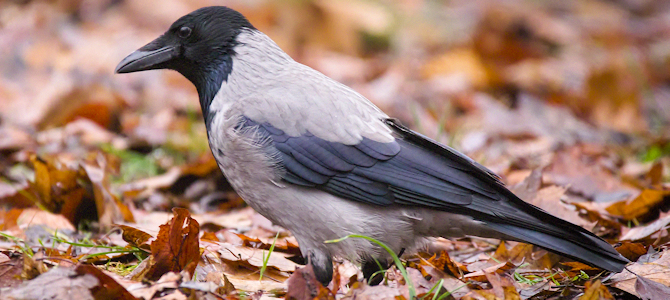 Hooded Crow in Fall Leaves - Photo by hedera.baltica