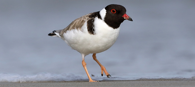 Hooded Plover - Photo by patrickkavanagh