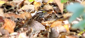 White-Throated Sparrow Loving the Leaves - Photo by Melissa Johnson