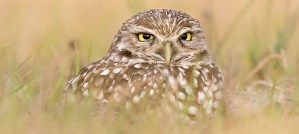 Burrowing Owl - Photo by Bill Majoros