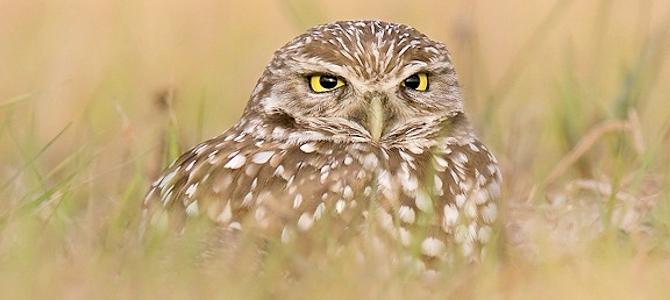 Burrowing Owl - Photo by Bill Majoros