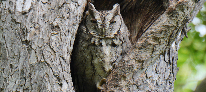Eastern Screech-Owl Gray Morph - Photo by Andy Reago & Chrissy McClarren