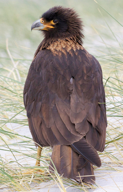 "Striated Caracara - Photo by Gregory ""Slobirdr"" Smith"