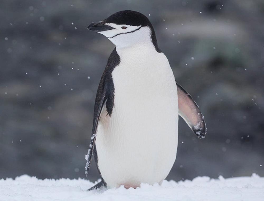 Snowy Flippers - Photo by Vivek Khanzodé (www.birdpixel.com)