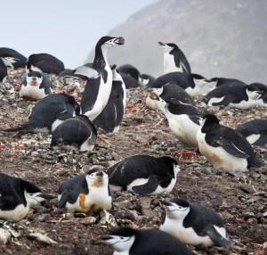 Chinstrap Penguin Nesting Colony - Photo by ravas51