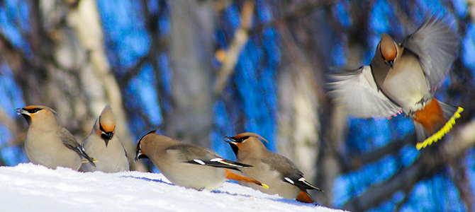 Bohemian Waxwing Flock - Photo by Bruce Guenter