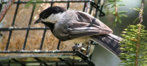 Chickadee at Suet Feeder - Photo by Robert Taylor