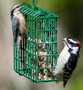Nuthatch and Woodpecker Sharing the Feeder - Photo by Paul VanDerWerf